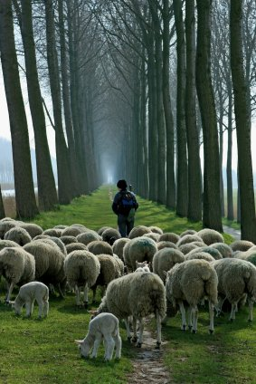 sheep and shepherd in woods