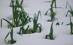 snow on crop