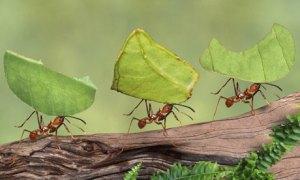 leaf-cutter-ants