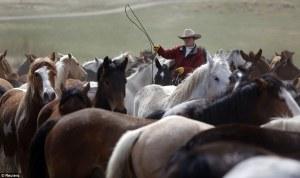 rancher herding