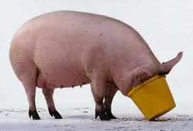 hog at trough
