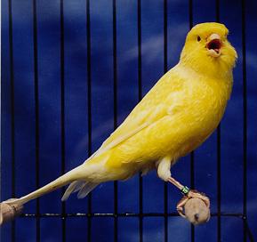 sing like a canary